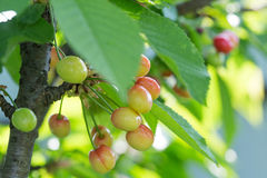 在一个树枝的莓果樱桃在庭院里 未成熟的cherri 免版税库存照片