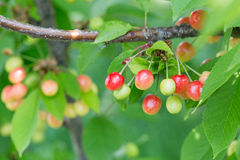 在一个树枝的莓果樱桃在庭院里 未成熟的cherri 免版税图库摄影