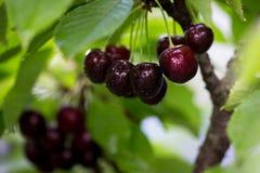 在一个树枝的莓果樱桃在庭院里 免版税图库摄影