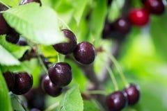 在一个树枝的莓果樱桃在庭院里 免版税库存图片