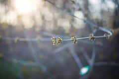 在一个树枝的绿色芽在oark 免版税库存图片