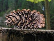 在一个树桩的冷杉球果在河岸 库存图片