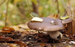 在一个树桩的几个蘑菇在下落的叶子下 图库摄影