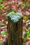 在一个树桩的地衣以心脏的形式 免版税库存照片