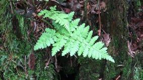 在一个树桩的蕨在森林A蕨一生长在树桩 影视素材