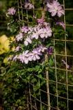 在一个格子的开花的铁线莲属在植物园里 库存图片