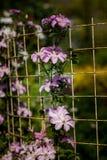 在一个格子的开花的铁线莲属在植物园里 库存照片