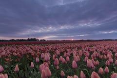 在一个桃红色和红色郁金香领域上的风雨如磐的天空在荷兰 库存图片
