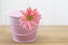 在一个桃红色桶的德兰士瓦雏菊 免版税库存照片