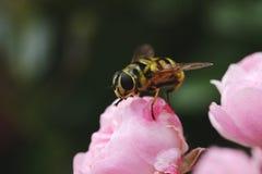 在一个桃红色玫瑰丛的大黄蜂 免版税图库摄影