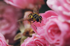 在一个桃红色玫瑰丛的大黄蜂 免版税库存图片