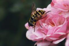 在一个桃红色玫瑰丛的大黄蜂 库存图片