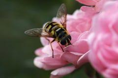 在一个桃红色玫瑰丛的大黄蜂 免版税库存照片
