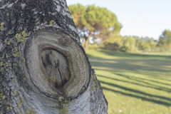 在一个桦树的吠声的结在一个高尔夫球场的未开发的地区的在意大利 图库摄影