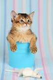 在一个桶的逗人喜爱的索马里小猫有老鼠的 免版税库存照片