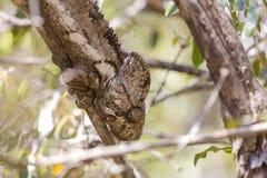在一个棕色分支的变色蜥蜴在密林 库存图片