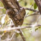 在一个棕色分支的变色蜥蜴在密林 图库摄影