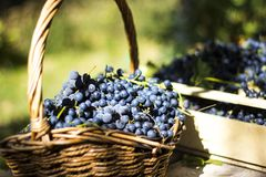 在一个棕色柳条筐的蓝色葡萄酒 库存图片