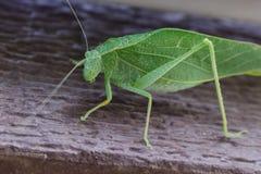 在一个棕色门道入口的一个katydid叶子臭虫 免版税库存图片