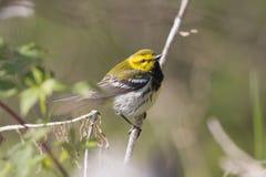 在一个森林场面的美丽的黄色鸟在春天期间 免版税库存图片