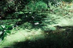 在一个森林池塘的一个小浪端的白色泡沫百合一个绿色浮萍的 荷花在水中 森林池塘 免版税库存照片