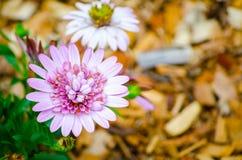 在一个植物园的延命菊雏菊紫色桃红色花春季的 免版税库存照片