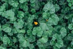 在一个概念的黄色花在绿色花中间 夏天风景在城市 想法是一个反对所有 库存图片