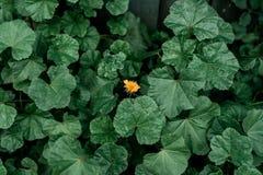 在一个概念的黄色花在绿色花中间 夏天风景在城市 想法是一个反对所有 库存照片