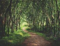 在一个橡胶树种植园概念的迷人森林车道 库存图片