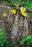 在一个死的树干的黄色叶子 免版税库存图片