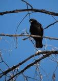 在一个死的树枝栖息的一只黑乌鸦面对照相机 图库摄影