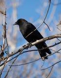在一个死的树枝栖息的一只黑乌鸦 库存照片