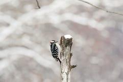 在一个残破的分支的啄木鸟 图库摄影