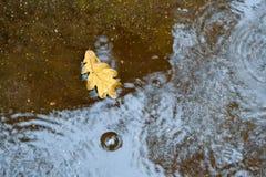 在一个水坑的一片橡木叶子在沥青 秋天,雨 在视图之上 图库摄影