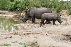 在一个水坑的犀牛和小牛身分在公园 库存图片