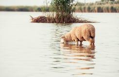 在一个水坑的绵羊 在岸的绵羊饮用水  库存照片