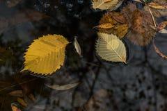 在一个水坑的黄色肮脏的下落的叶子在雨以后 免版税库存图片