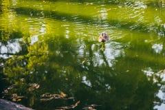 在一个池塘低头漂浮用绿色水在一个晴天 免版税库存照片