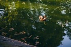 在一个池塘低头漂浮用绿色水在一个晴天 免版税库存图片