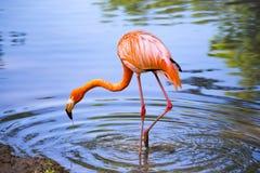在一个池塘的桃红色火鸟本质上 免版税库存图片