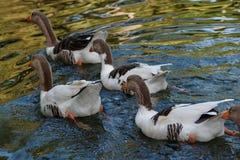 在一个池塘的鸭子在公园2 免版税图库摄影