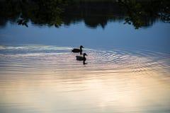 在一个池塘的2只鸭子日落的 免版税库存照片