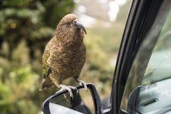 在一个汽车镜子的Kea鸟在新西兰, 免版税库存图片