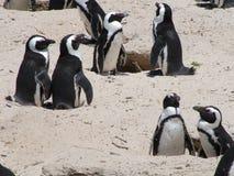 在一个沙滩的非洲企鹅在开普敦附近, 库存图片