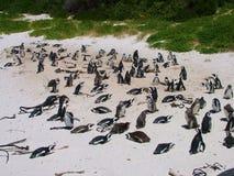 在一个沙滩的非洲企鹅在开普敦附近 免版税库存照片