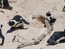 在一个沙滩的非洲企鹅在开普敦附近 库存照片