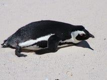 在一个沙滩的非洲企鹅在开普敦附近 图库摄影