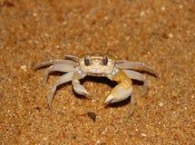 在一个沙滩的小螃蟹 免版税库存图片