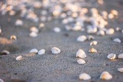 在一个沙滩的贝壳在日落 图库摄影