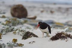 在一个沙滩的Magellanic蛎鹬 免版税图库摄影